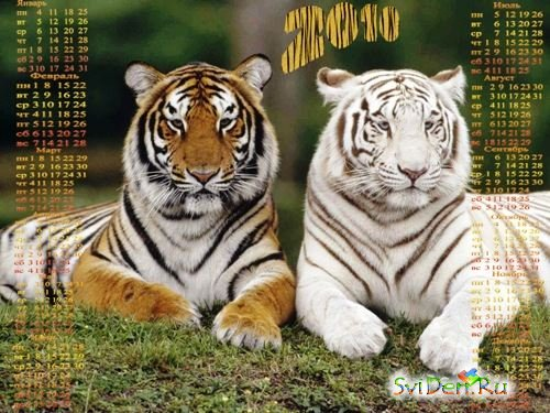 Calendar-2010 with tigers