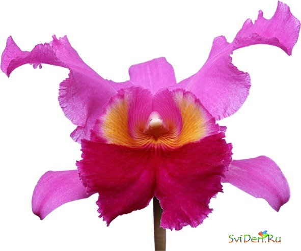PNG Clipart - Orchids