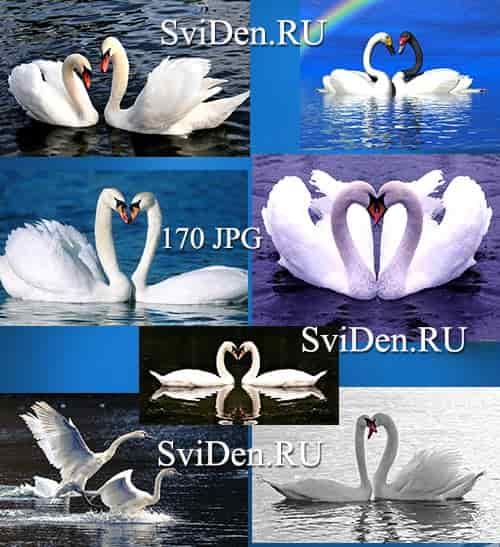 Белые лебеди - Растровый клипарт